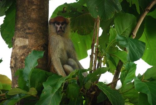 monkey in tree SMALL